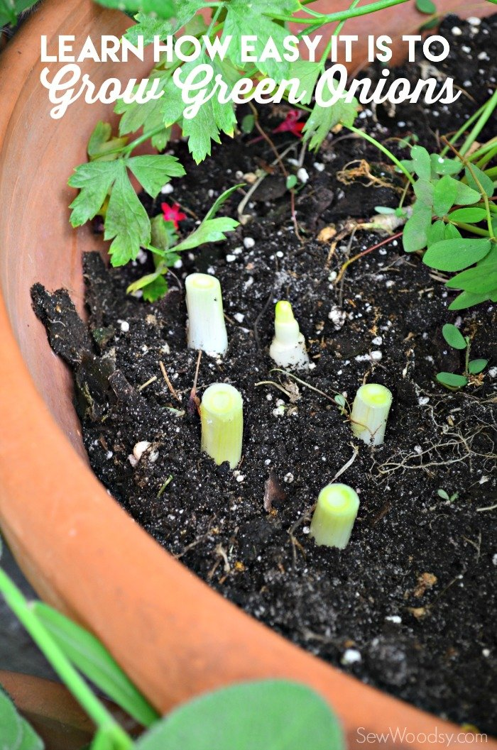 Learn how easy it is to grow green onions